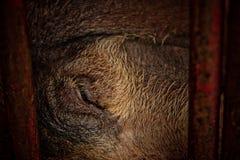 Svin i järnstalls Royaltyfria Foton
