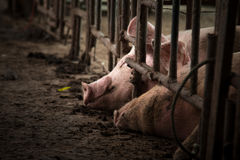 Svin i järnstalls Arkivfoto