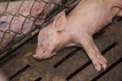Svin i lantgården Fotografering för Bildbyråer