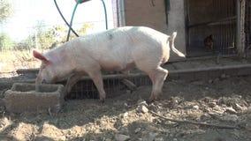 Svin i stallet stock video