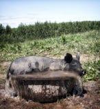 Svin i vatten Arkivfoto