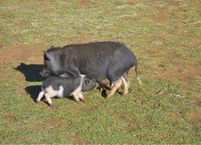 Svin med dess spädgrisar Fotografering för Bildbyråer