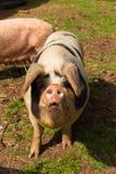 Svin med svarta fläckar som ser till kameraanseendet i ett fält Arkivfoto