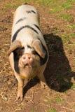 Svin med svarta fläckar som ser till kameraanseendet i ett fält Royaltyfria Bilder