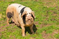 Svin med svarta fläckar som ser till kameraanseendet i ett fält Fotografering för Bildbyråer
