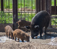 Svin med svin Arkivfoton