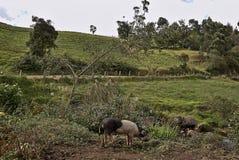 Svin nästan en väg i landsbygd arkivbilder