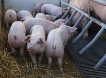 Svin och barnaskara på en ställningsbur Arkivbilder