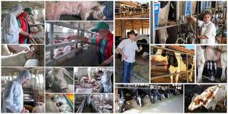 Svin och nötkreatur som brukar - bönder som arbetar på svin- och mejerilantgården fotografering för bildbyråer