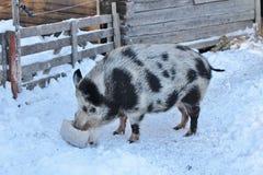 Svin på det frilufts- museet Hägnan I Gammelstad royaltyfri foto
