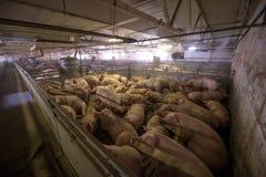 Svin på en fabrik Royaltyfri Foto
