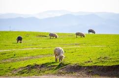 Svin på ett grönt fält med en naturlig blick Royaltyfri Fotografi