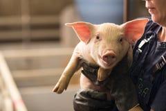 Svin på fabriken royaltyfri foto