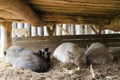 Svin på fri områdelantgård royaltyfri foto