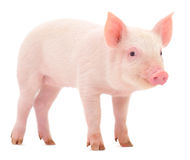 Svin på vit royaltyfri bild