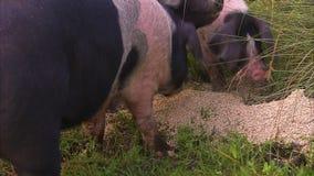 Svin som äter matningar på gräset arkivfilmer