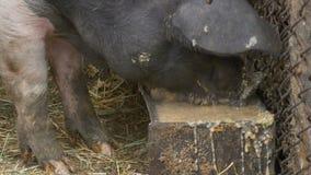 Svin som äter smörja arkivfilmer
