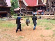 Svin som framläggas på begravning i Tana Toraja Royaltyfria Bilder