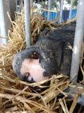 Svin som sover på en ståndsmässig mässa, Pennsylvania, USA Arkivfoton