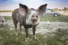 Svin som spelar i det gräs- fältet royaltyfri fotografi