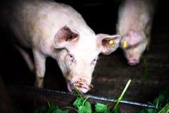 Svin som äter gräs på den lokala lantgården i bygden Royaltyfri Fotografi