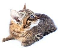 Svindel- kattunge Arkivbilder