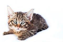 Svindel- kattunge Royaltyfria Bilder