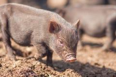 svinet är litet gullig pig arkivbilder