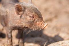 svinet är litet gulligt royaltyfri fotografi