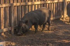 Svinet för går det mörka svinet för går i gården royaltyfria foton