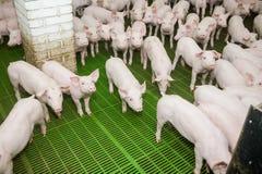 Svinfarm lilla piglets Svinlantbruket är lyfta och föda upp av inhemska svin Fotografering för Bildbyråer