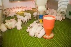 Svinfarm lilla piglets Svinlantbruket är lyfta och föda upp av inhemska svin Royaltyfri Bild