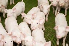 Svinfarm lilla piglets Svinlantbruket är lyfta och föda upp av inhemska svin Arkivfoto