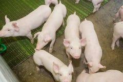 Svinfarm lilla piglets Svinlantbruket är lyfta och föda upp av inhemska svin Arkivfoton