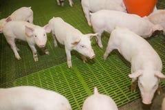 Svinfarm lilla piglets Svinlantbruket är lyfta och föda upp av inhemska svin Arkivbild