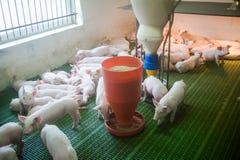 Svinfarm lilla piglets Svinlantbruket är lyfta och föda upp av inhemska svin Royaltyfri Fotografi