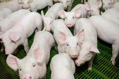 Svinfarm lilla piglets Svinlantbruket är lyfta och föda upp av inhemska svin Royaltyfria Foton