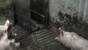 Svinfarm med många svin stock video