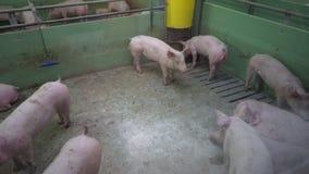 Svinfarm med många svin arkivfilmer