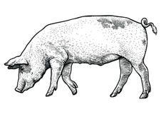 Svinillustration, teckning, gravyr, linje konst som är realistisk Stock Illustrationer