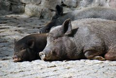 Svinmoder och hennes unga spädgris royaltyfri bild
