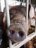 Svinnos, gulligt svin på en ståndsmässig mässa, Pennsylvania, USA Royaltyfria Foton