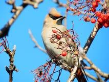 Sviristel on an apple-tree branch. Sviristel on a branch pecks red apples Stock Photos