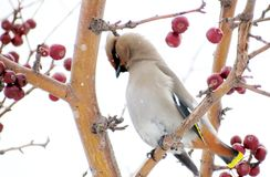 Sviristel on feeding. Eats red apples Royalty Free Stock Photos