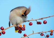 Sviristel on feeding. Eats red apples on a branch Royalty Free Stock Image
