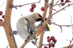 Sviristeli on feeding. Sviristeli in a winter garden are fed with red apples Royalty Free Stock Photos