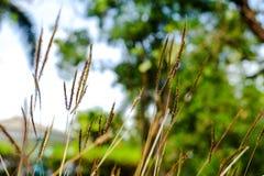 Svullet fingergräs, fingergräs Royaltyfri Fotografi
