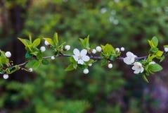 Svullna blommaknoppar samman med snövita körsbär-plommon blommor mot bakgrunden av vårgrönska royaltyfri bild