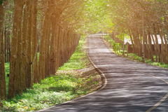 Svuoti la strada sola attraverso la piantagione dell'albero di gomma con le file del pl Immagini Stock