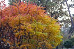 Swój liście cudownego barwienie jesień kolor przepustka od koloru żółtego karmazyny bez przeszkód zdjęcie stock